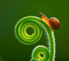 Itty Bitty Snail curled-up on a plant . . .