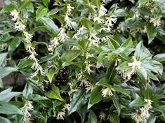 Image result for Sarcococca Confusa