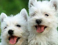 westie puppies for sale scotland