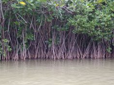 mangrove trees in India | Root fo Mangrove tree Climbing into water