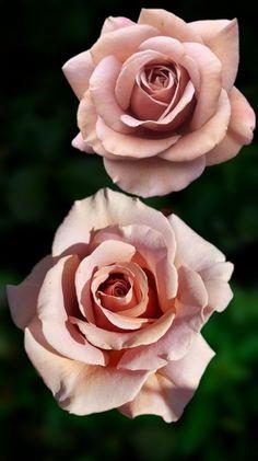 Beautiful Rose Flowers, Love Rose, Exotic Flowers, Amazing Flowers, Beautiful Flowers, Rose Tattoos, Flower Tattoos, Rosas Color Salmon, Photo Rose