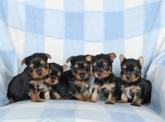 💙💮🐾 #AbsolutelyAdorable and playful, #Yorkie #Puppies are brave and outstanding companions that love adventures! #YorkshireTerrier #Pups are energetic and and they will win your heart with their #Cute antics and loving personality. ▬▬▬▬▬▬▬▬▬▬▬▬▬▬▬▬▬▬▬ #Charming #PinterestPuppies #PuppiesOfPinterest #Puppy #Pup #Funloving #Sweet #PuppyLove #Cuddly #Adorable #ForTheLoveOfADog #MansBestFriend #Dog #Pets #ChildrenFriendly #PuppyandChildren… Yorkie Puppy For Sale, Yorkie Puppies, Yorkshire Terrier Puppies, Cute Dogs And Puppies, Puppies For Sale, Puppy Love, Small Dog Breeds, Small Dogs, Lancaster Puppies