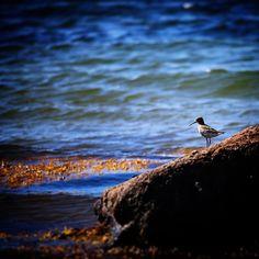 Fra skønne Helnæs #visitfyn #fyn #nature #visitdenmark #naturelovers #nofilter #natur #denmark #danmark #dänemark #landscape #nofilter #assens #mitassens #vildmedfyn #fynerfin #vielskernaturen #visitassens #instapic #picoftheday #bird #seaweed #stone #sea #september