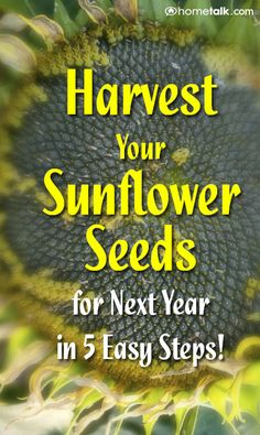 {Harvest Your Sunflower Seeds} for next year in {5 Easy Steps!}