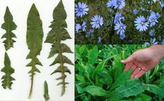 Chicory samples