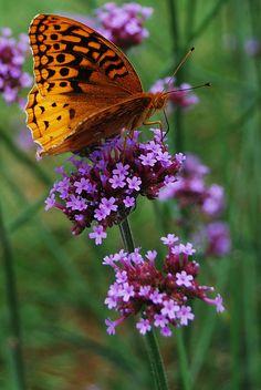 Orange butterfly on lavender flowers Beautiful Bugs, Beautiful Butterflies, Beautiful Flowers, Beautiful Pictures, Flying Flowers, Butterflies Flying, Butterfly Kisses, Butterfly Flowers, Butterfly Quotes