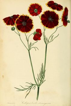 1836 - Paxton's Magazine of Botany and Register of Flowering Plants by Paxton, Sir Joseph - clianthus puniceus