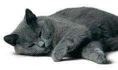 Karthuizer/Chartreux » Kattenrassen - Alle kattenrassen