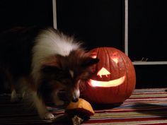 Pumpkin Sheltie