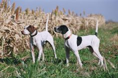 Do you love #dogs?  We do! Enjoy upland bird hunting at Heartland Lodge. Our German Shorthair Pointers and English Pointers are second to none.