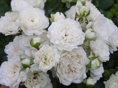 Rosa 'White Fairy' by 6928luc @ ebay Affiliate link