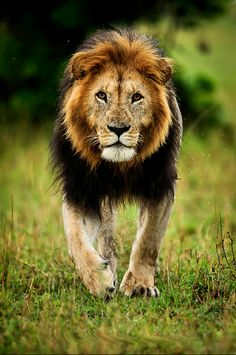 Lions are the majestic and this guy is The King