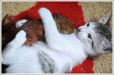 Awwww! Wee squirrel and a cat!