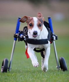 Meet Flynn from down under in his dog wheelchair! Dog Wheelchair, Jane Goodall, Mobility Aids, Raining Cats And Dogs, It's Raining, Chihuahuas, Animal Rescue, Cute Dogs, Dog Cat