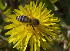 Dandelion • Active and Eco - sport | outdoor | healthy lifestyle | nature | ecology | design Ecology Design, Natural Products, Healthy Lifestyle, Dandelion, Sport, Nature, Outdoor, Outdoors, Deporte