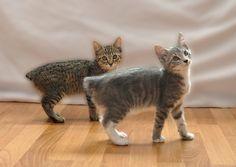 Manx Cat | My Manx Kittens | Flickr - Photo Sharing!