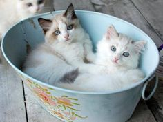 Fluffy kittens in a bucket, what could be cuter :3