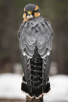 Aplomado Falcon | par Jon David Nelson