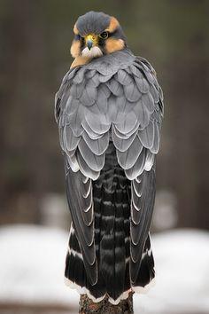 Aplomado Falcon   par Jon David Nelson