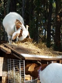 This SpecialNeeds Goat Only Calms Down In Her Duck Costume - Rescue goat suffers anxiety calms duck costume