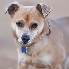 Chihuahua dog for Adoption in Kanab, UT. ADN-374955 on PuppyFinder.com Gender: Male. Age: Adult