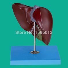 36.00$  Buy here  - Human Liver Model, vivid liver model