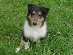collie puppies | Collie puppies go totheirnew homes when they are eight weeks old ...