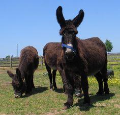 Baudet du Poitou.  Rare French Breed of Donkey.  Found my niche for a fun farm