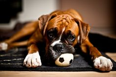 Such A Cute Picture! Boxers Are My Favorite Breed Of Dog :)