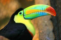 A Tucan at La Paz Waterfall Park in Costa Rica