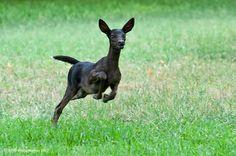 melanistic-black-fawn