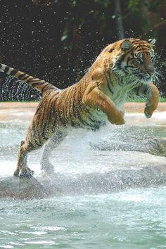 Tiger #animal