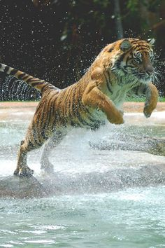 Tiger leaping to up into the water