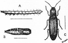 Wireworm: These pests are the larvae of click beetles; the larvae have segmented bodies and a hard, shiny, reddish brown protective covering. http://tomatogrowingexpert.com/tomato-problems-and-pests