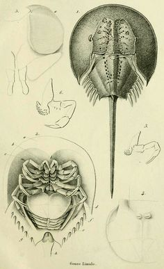 The family Limulidae (Horseshoe crabs)  From: 'Histoire naturelle des crustacés comprenant l'anatomie, la physiologie et la classification de ces animaux' Published 1834
