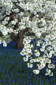 ~~Ornamental cherry - prunus shirotae underplanted with muscari armeniacum by Clive Nichols~~