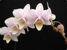 Phalaenopsis schilleriana x Cassandra