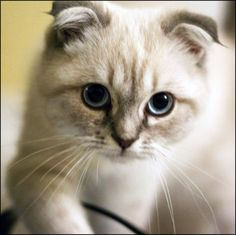 Scottish Fold kitten as like cute and beautiful cat breeds. Make them as your favorite pet's. Gato Scottish Fold, Munchkin Cat Scottish Fold, Scottish Fold Kittens, Beautiful Cat Breeds, Beautiful Cats, Cat Allergies, Mean Cat, Famous Dogs, Curious Cat