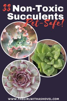 Do your cats chew on your plants? Make sure that they stay safe by purchasing non-toxic plants! Here are 33 succulents that will be safe for cats and dogs! Succulents Safe for Cats | Succulents Safe for Dogs | Are Succulents Safe for Cats | Succulents that are Safe for Cats | Succulents Safe for Dogs | Are Succulents Safe for Dogs | Succulents that are Safe for Dogs | Succulents Non Toxic | Non Toxic Succulents for Cats | Nontoxic Succulents |