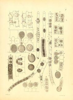 Untersuchungen Über die Familie der Conjugaten (Zygnemeen und Desmidieen); - Biodiversity Heritage Library