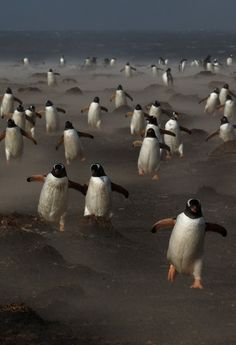 Gentoo penguins on the Sea Lion Island in the Falklands. Climate change is a threat to the Gentoo penguin population. Beautiful Birds, Animals Beautiful, Cute Animals, Penguins And Polar Bears, Gentoo Penguin, Penguin Love, Penguin Parade, Tier Fotos, Mundo Animal