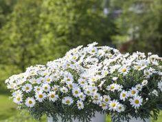 Slik planter du i krukkene Dandelion, Planters, Flowers, Patio, Dandelions, Plant, Window Boxes, Taraxacum Officinale, Royal Icing Flowers