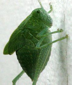By Peter Cristofono - https://flic.kr/p/e2AGmN   Greater Angle-Wing Katydid (nymph)   Family: Tettigoniidae. Species: Microcentrum rhombifolium (Saussure, 1859). Male. (Medford, MA)