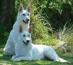 Breeders - The White Swiss Shepherd Dog Club of Australia Inc