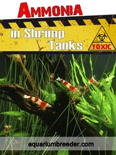 Ammonia in Shrimp Tanks. Causes, effects, symptoms, etc. Shrimp Tank, Tanks, Cool Pictures, Shelled, Military Tank, Thoughts