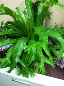 Asplenium Amy, a really unusual and unique Basket Planters, Hanging Baskets, Hanging Plants, Potted Plants, Indoor Ferns, Indoor Plants, Indoor Gardening, Bird Nest Fern, Unusual Plants