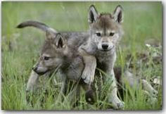 Wild wolf pups live with parents, siblings, and aunts, in a small pact. (Jim and Jamie Dutcher) ~ 10 Lessons From Wolf Families Wolf Love, Beautiful Wolves, Animals Beautiful, Wolf Pictures, Animal Pictures, Tier Wolf, Baby Animals, Cute Animals, Wild Dogs