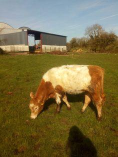 Galloway charolais heifer