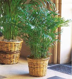 Bamboo Palm - Good for indoor air quality: natural remover of benzene, trichloroethylene, and formaldehyde. Not listed as toxic to cats/dogs on the ASPCA's list of toxic house plants.