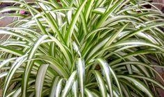 Clorophytum Comosun  Lazo de Amor / Spider Plant